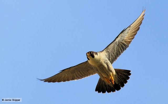 Peregrine falcons are one of, if not the, fastest animals ...
