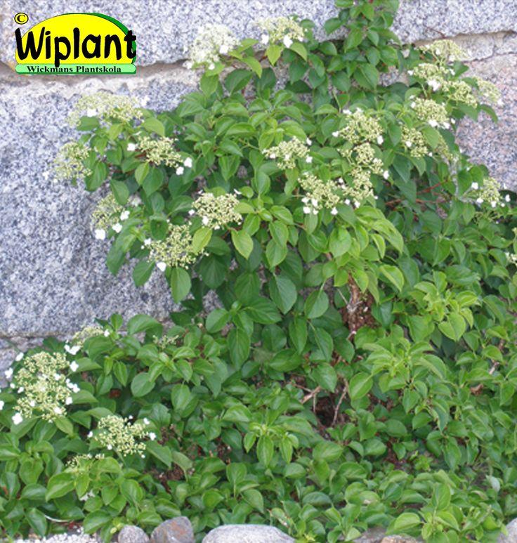 Hydrangea anomala sp. petiolaris, klätterhortensia. Självklättrande, långsamväxande. Små vita blommor i juni. Höjd: 1-5 m.