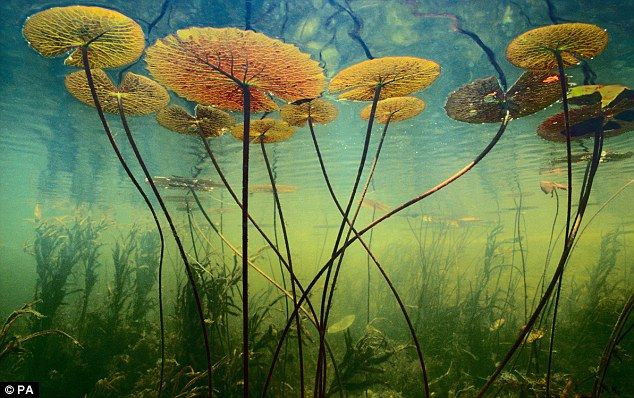 waterlilies: Okavango Delta, Waterlili, National Geographic, Art Prints, Fran Lant, Underwater Photography, Nature Photography, Earth Day, Water Lilies