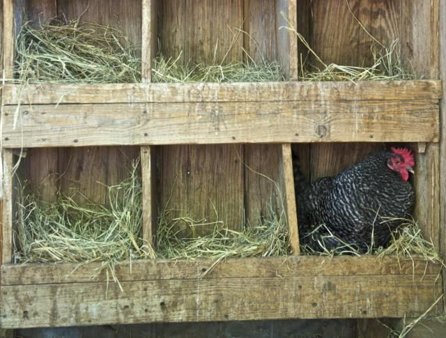 The deep litter method of litter management is used to keep chickens healthy and happy in their coop on small farms and homesteads. Laying hens are particularly suited for this method of litter management.