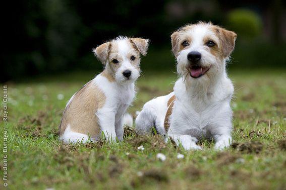 Royal Canin - Breed - Kromfohrlander