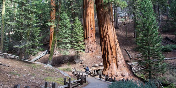 Giant sequoias (Sequoiadendron giganteum) stand apart in Sequoia National Park's Giant Forest. - 10 Reasons to Adventure in Southern California in the Winter