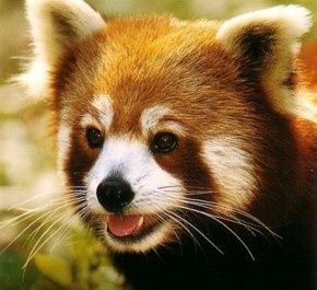 bébé panda roux