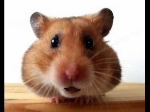 Funny Birthday Song (Waddles the Hamster) - YouTube