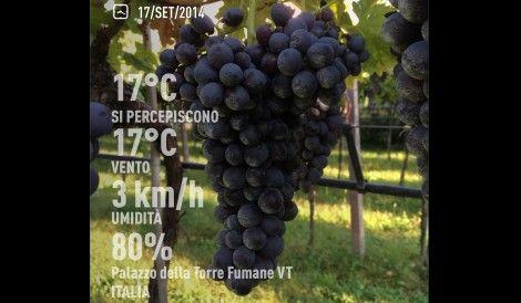 "A picture of Corvinone grapes at the Palazzo della Torre Vineyard in Valpolicella, Italy. #nature Coordinate 45°32'20.3""N - 10°52'32.0""E September 17th, 2014"