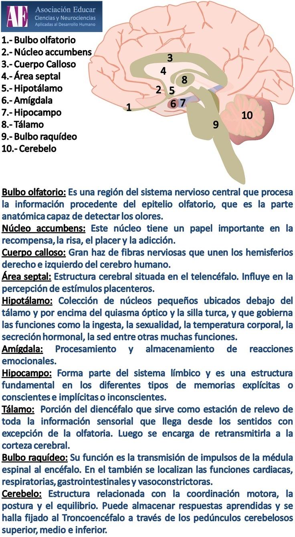 Ilustracion Neurociencias: Bulbo olfatorio, núcleo accumbens, cuerpo calloso, área septal, hipotálamo, amígdala, hipocampo, tálamo, bulbo raquídeo, cerebelo - Asociación Educar Ciencias y Neurociencias aplicadas al Desarrollo Humano www.asociacioneducar.com