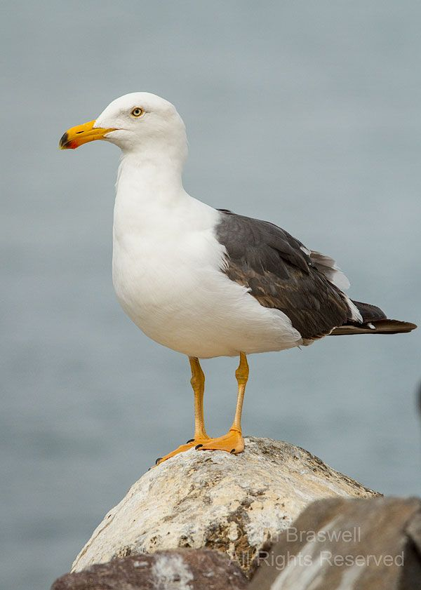 Yellow-footed Gull (Larus livens) - La Paz (Baja) Harbor Birds | Show Me Nature Photography