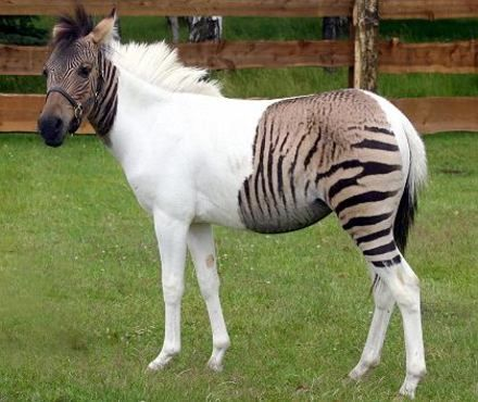 Hybrid Zebra/Horse Arrives in Germany         It's not just puggles and schnoodles monopolizing the hybrid animal market. Three weeks ago, a zebra/horse hybrid made its way to the Stukenbrock safari park from Italy. The Zebroid or Zorse's mother is a zebra and her father is a horse. She probably won't be able to reproduce herself since equine hybrids are infertile.People have been cross-breeding zebras and horses since colonial times, but Eclyse's coloring is unusual for such hybrids. With…