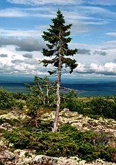 "Old Tjikko is a 9,550 year old Norway Spruce tree, located on Fulufjället Mountain of Dalarna province in Sweden. Old Tjikko is the world's oldest living individual clonal tree, however, there are many examples of much older clonal colonies (multiple trees connected by a common root system), such as ""Pando"", estimated to be over 80,000 years old."
