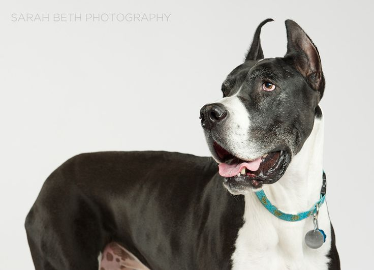 Great Dane Rescue Of Minnesota Wisconsin May Rescue Of The Month