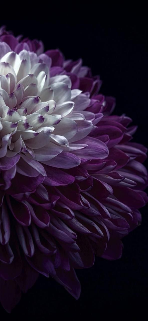Floral Flower Wallpapers Iphone Android Floral Wallpapers For Iphone And Android Clic Purple Flowers Wallpaper Purple Flowers Purple Wallpaper Phone Best of purple flowers wallpaper for