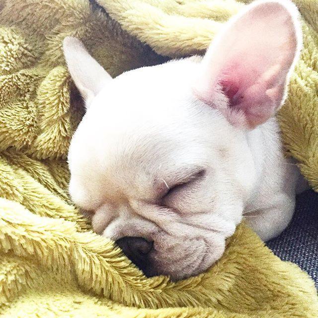 Snoozin Since 2014 Tbt Frenchie French Bulldog Puppy Buldog Franzosische Bulldogge Hunde Lustige Hunde