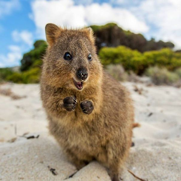 Byron the Quokka: Bell Mountain Trivia Question No. 4