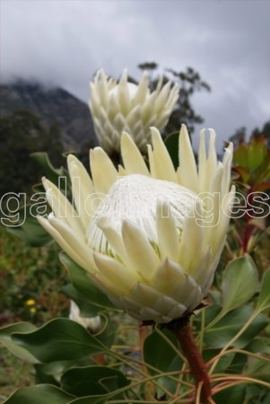 King Protea Ivory: all year