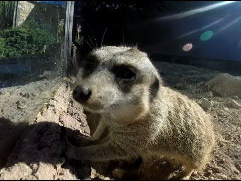 Meerkat playing with my GoPro - Suricata a brincar com a GoPro
