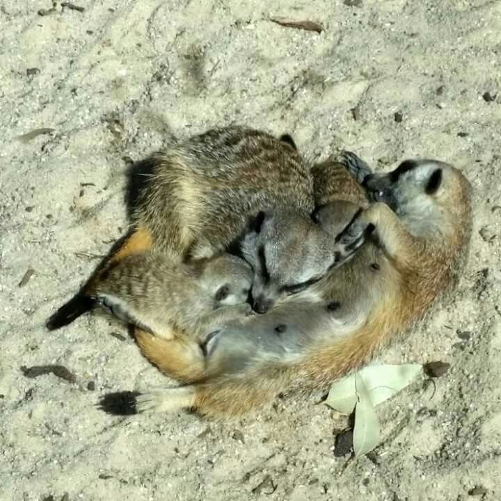 Meerkat Family Snuggle