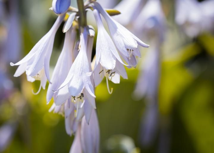 How to Plant, Grow, and Care for Hostas