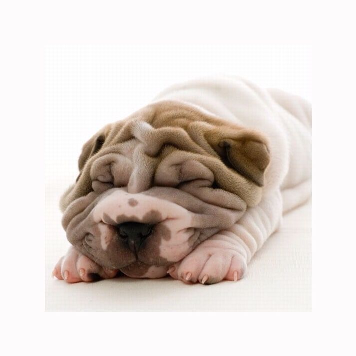 17 Best Images About Shar Pei On Pinterest