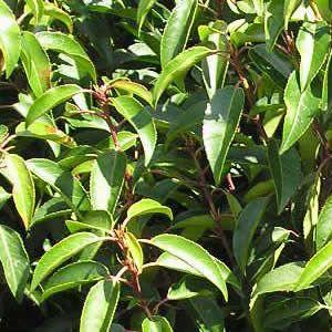 Feuillage laurier du portugal (prunus lusitanica)
