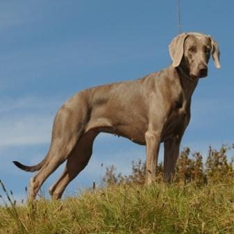 Weimaraner, a hunting dog