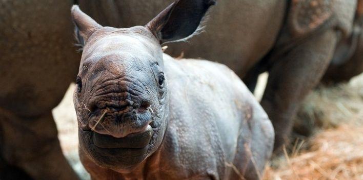 Un bébé rhinocéros indien né au zoo de Beauval