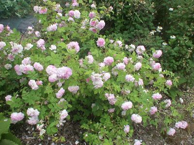Takalo-Roppolan puutarha- ja mansikkatila: RUUSUT- Rose Summer bride