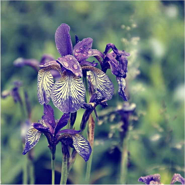 Iris: Favorite Flowers, Beautiful Iris, Flowers Pl, Irida Flowers, Gardens Alone, Flowers Irida, Beautiful Flowers, Beautiful Plants, Flowers Beautiful