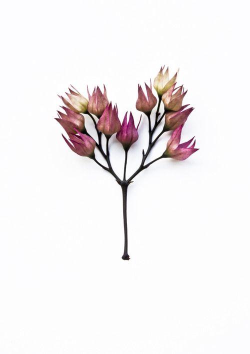 Nephelium Mutabile Blume