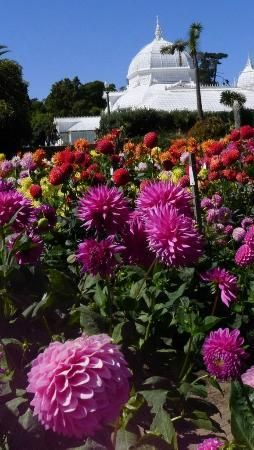 San Francisco, Californië: The lovely Dahlia Garden at Conservatory of Flowers (4)