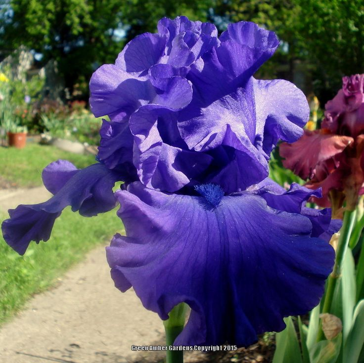 20 Black Flowers And Plants To Add Drama To Your Garden: TB Iris Germanica 'Dusky He Man' (Richardson, 2004)