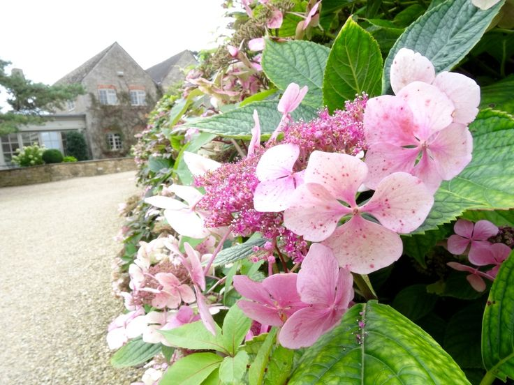 The last of the season's glorious Hydrangeas http://www.calcot.co