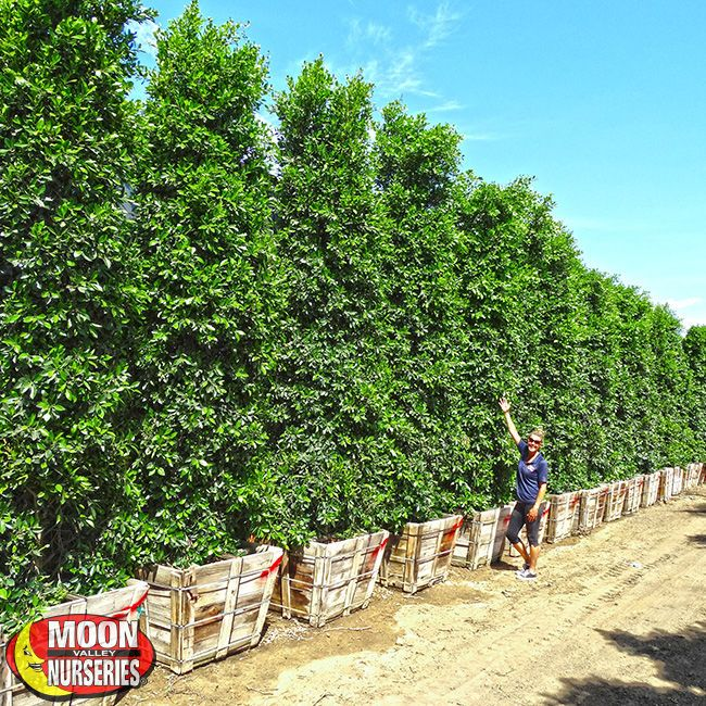 These make great hedges. Maybe along the left side of the driveway or the NE side of the house?  Ficus Nitida Columns