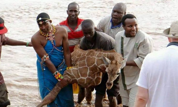 A group of men became heroes when they risked their own necks to save a baby giraffe, stuck in Kenya's crocodile-infested Uaso Nyiro River.