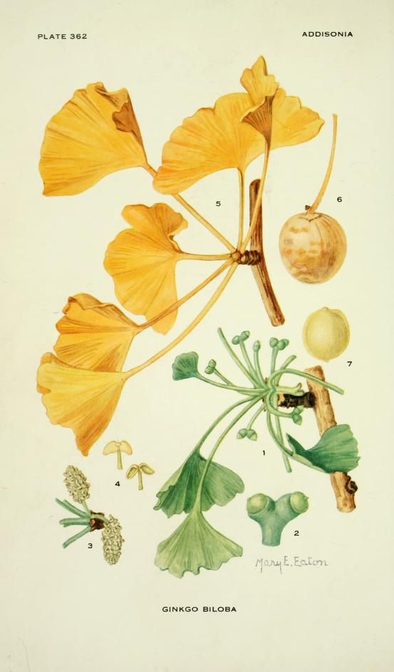 Ginkgo biloba. Addisonia : colored illustrations and popular descriptions of plants by New York Botanical Garden. Published 1916-[1964].