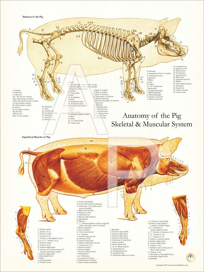 Pig anatomy vs human anatomy