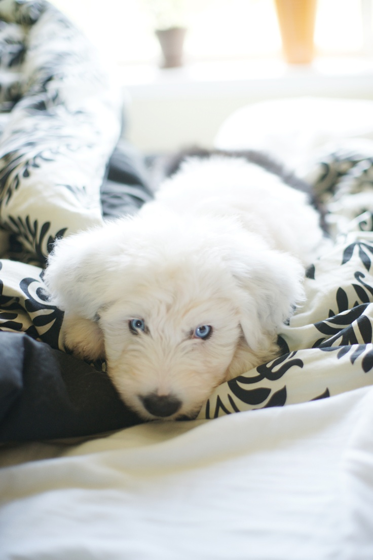 want on the has blue eyes so bad old english sheepdog puppy