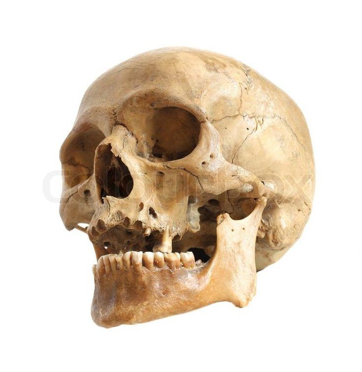 best 20+ human skull anatomy ideas on pinterest   skull anatomy, Skeleton
