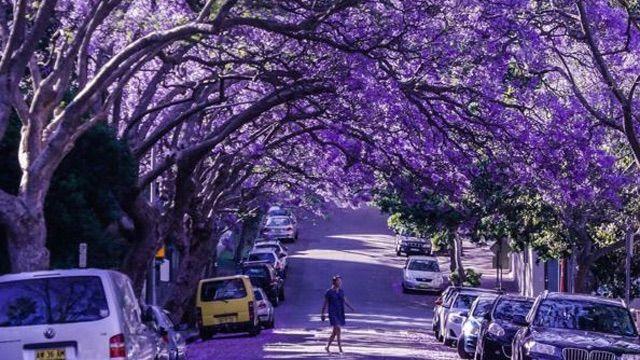 Jacarandas in bloom. Brisbane. 2015.