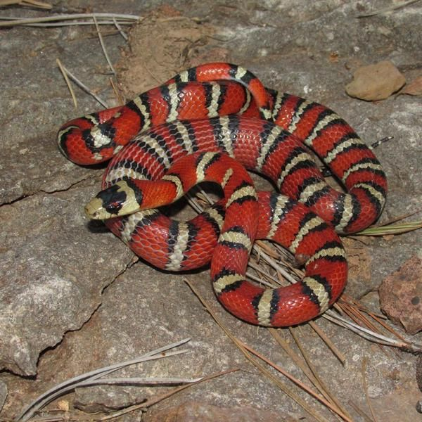 93 Best Images About Snakes On Pinterest