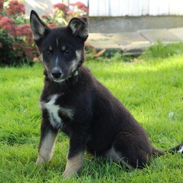Australian Shepherd Siberian Husky Mix Puppy For Sale In Gap Pa