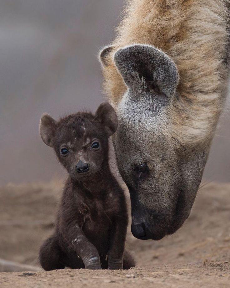 Ein besonderer Moment mit einem der am meisten missverstandenen Tiere Afrikas …   – Wildtiere