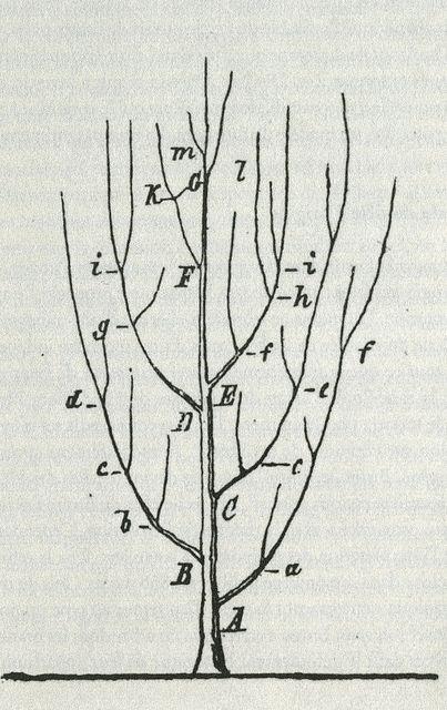 tree of species  heinrich georg bronn - 1858