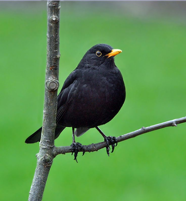 Blackbird (Turdus merula). Found all year round and everywhere in the UK. #Birds #UK
