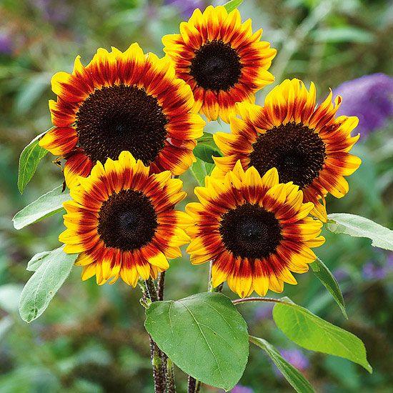 'solar flare' sunflower