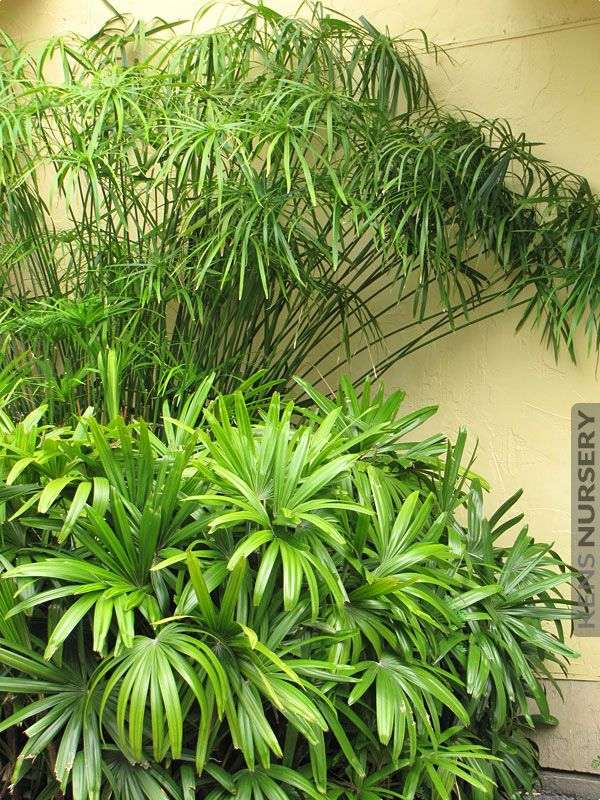 Water Loving Cyperus Papyrus Umbrella Plant #CYP-UPL