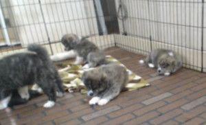 Japanese Akita Inu Puppies Live Cam