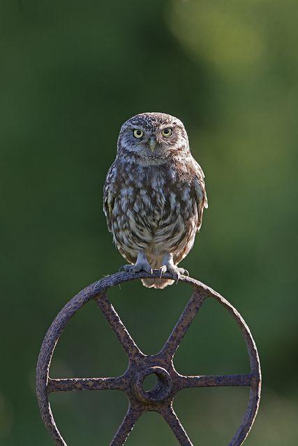 Owl (Athene noctua) by Phil Winter