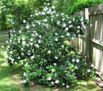 Gardenia planting tips and care instructions (I love these flowers, one of my favorites!)