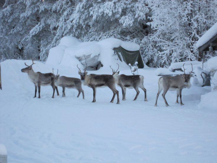 Reindeers in the garden, Lapland