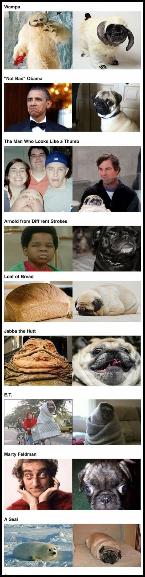 Pug dogs look alike   High Octane Humor